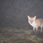 Lisica chytruska