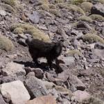 Berberyska koza