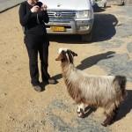 Kozy kozy wszędzie kozy :)