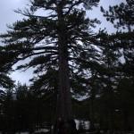Szlak doTrodoos - Wielka sosna