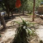 Kwitnący Aloes