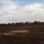Karawana wielbłądów