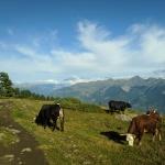 Krowy i Mont Blanc
